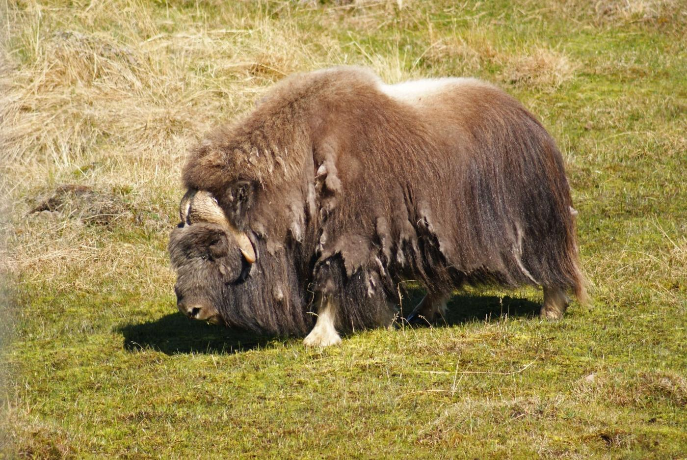 Muskox Bull on green meadow in Kangerlussuaq. Photo by Greenland Outdoors - Visit Greenland