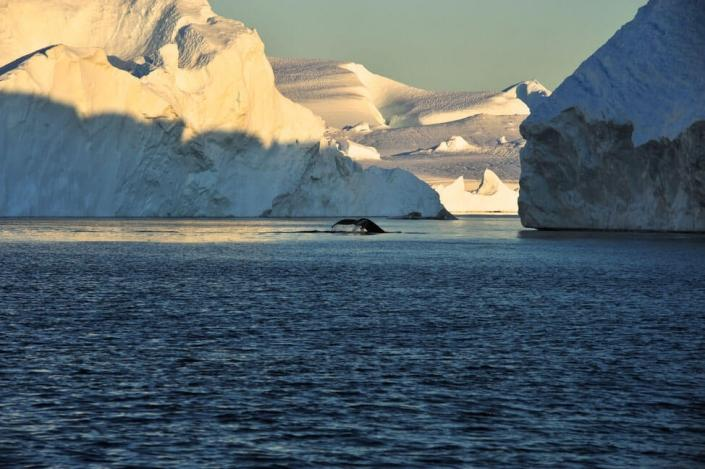 Whale diving showing it tail fin on a sunny day. Photo by Honest Greenland - Visit Greenland