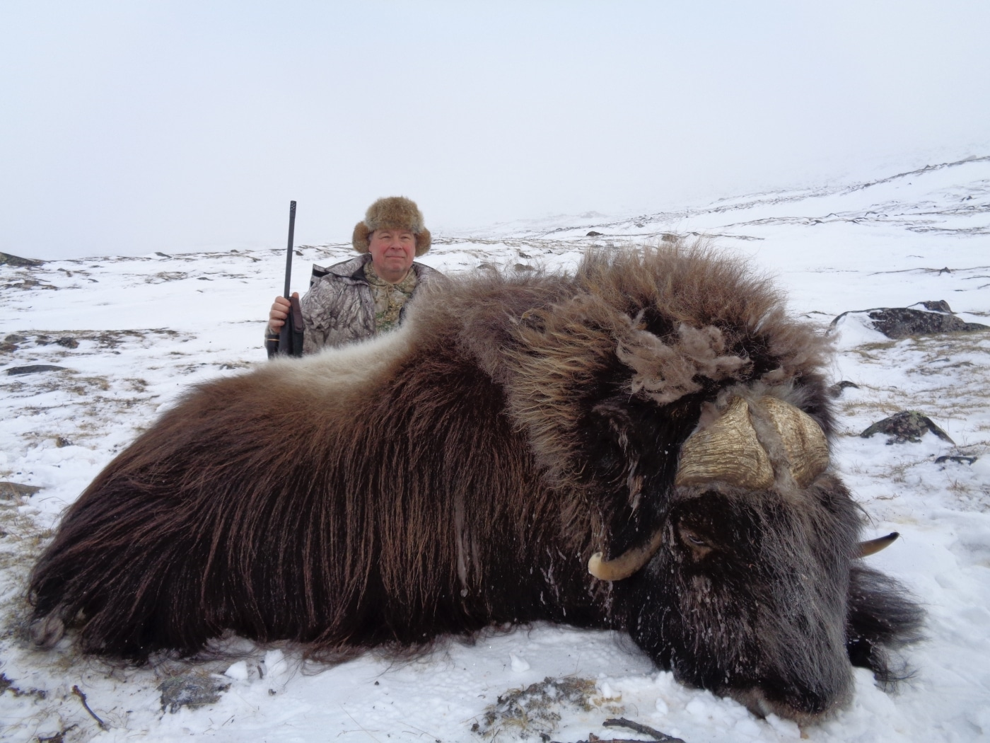 Musk ox in winter. Photo by Trophy Hunting Greenland, Visit Greenland