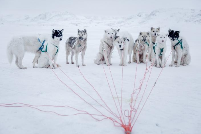 Well trained sled dogs waiting for the command to go in the DIsko Bay in Greenland. Photo by Mads Pihl - Visit Greenland