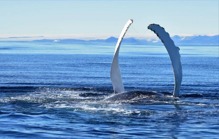Humpback whale showing its finns in East Greenland. Photo by Tasiilaq Tours - Visit Greenland