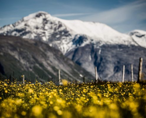 A field of flowers in front of snow capped mountain peaks in South Greenland. Photo by Mads Pihl.