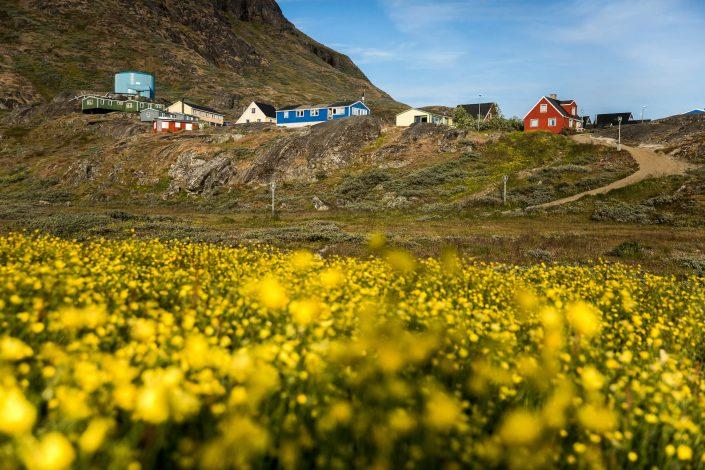 A field of flowers in Narsaq in South Greenland. Photo by Mads Pihl.