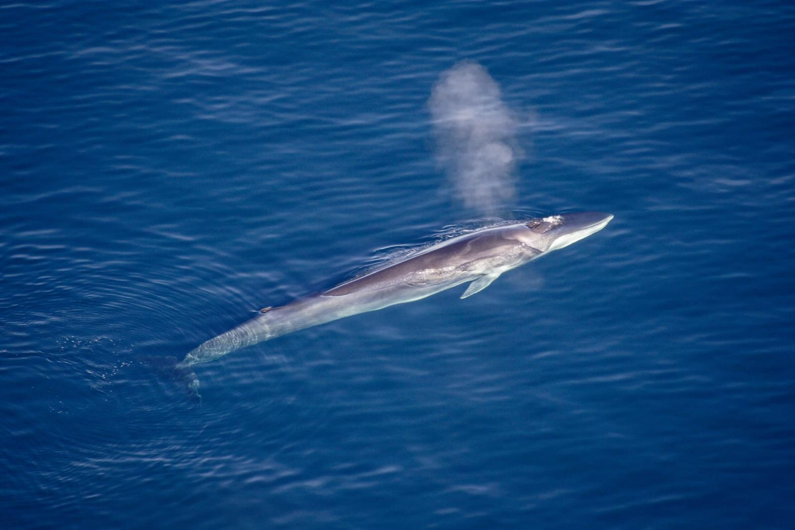Fin whale breathing. Photo by Aqqa Rosing Asvid.