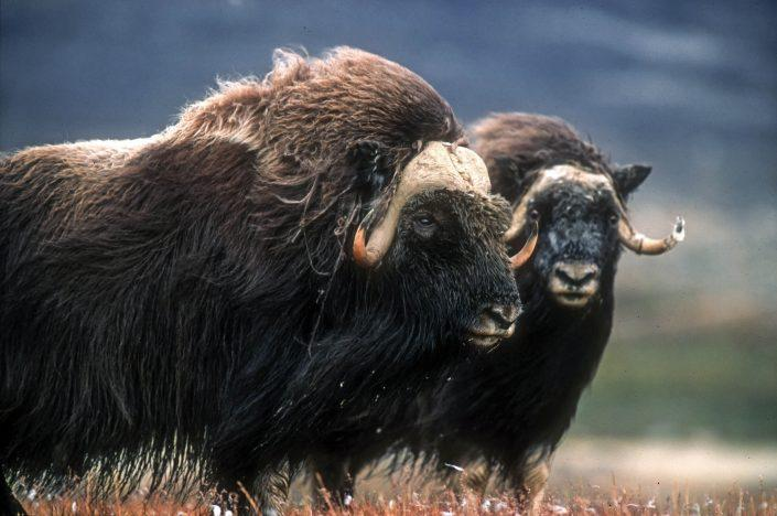 A pair of musk oxen in summer. Photo by Magnus Elander.