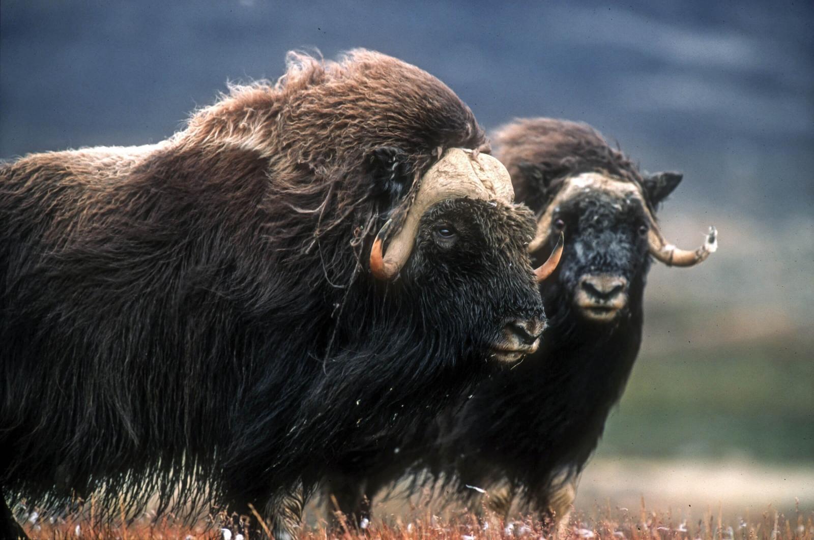 A pair of musk oxen in summer. Photo by Magnus Elander.