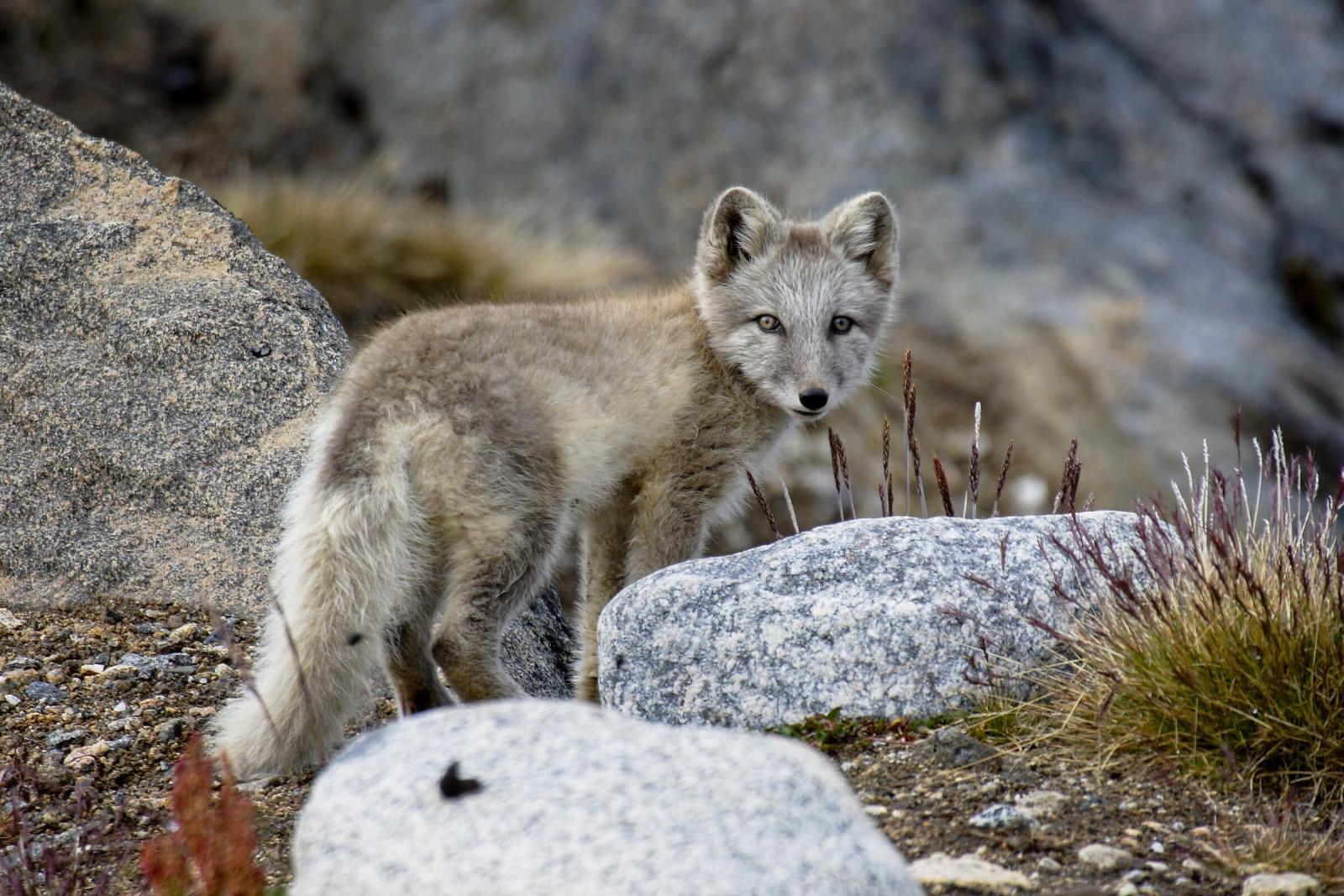 Polar fox spotted on a field. Photo by Aqqa Rosing Asvid.