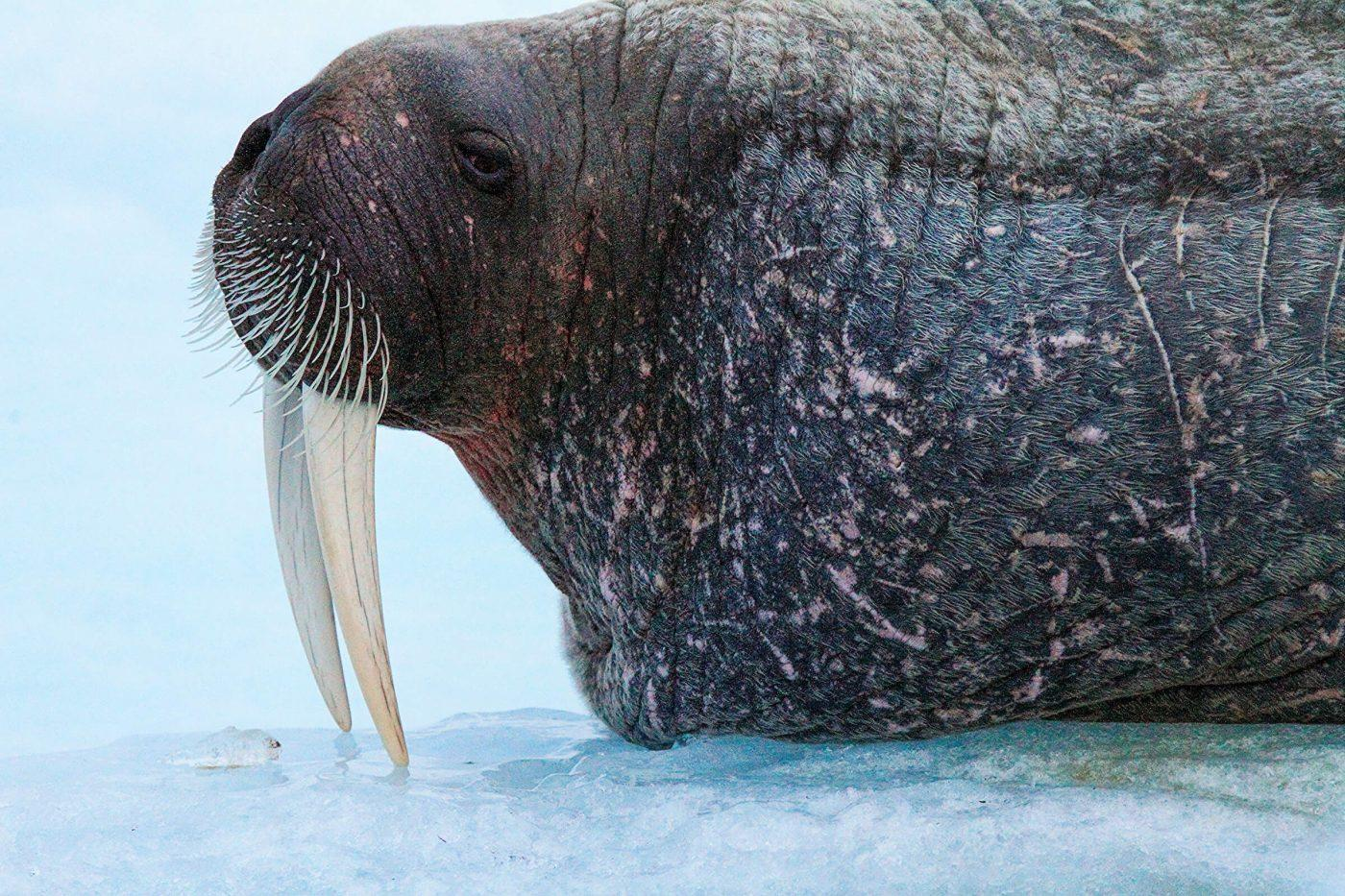 Walrus on ice floe. Photo by Aqqa Rosing Asvid.