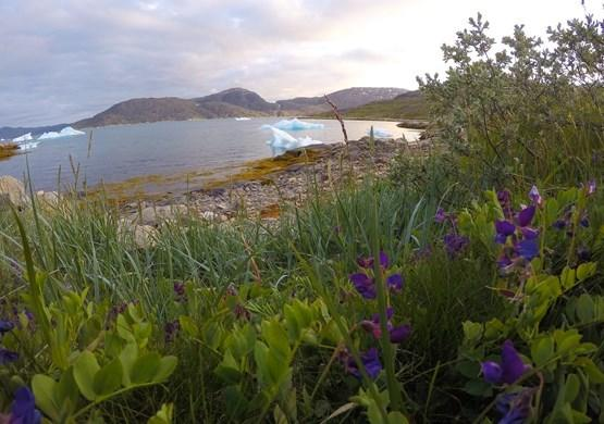 Flowering Nuluk Viking Settlement. By Visit Greenland