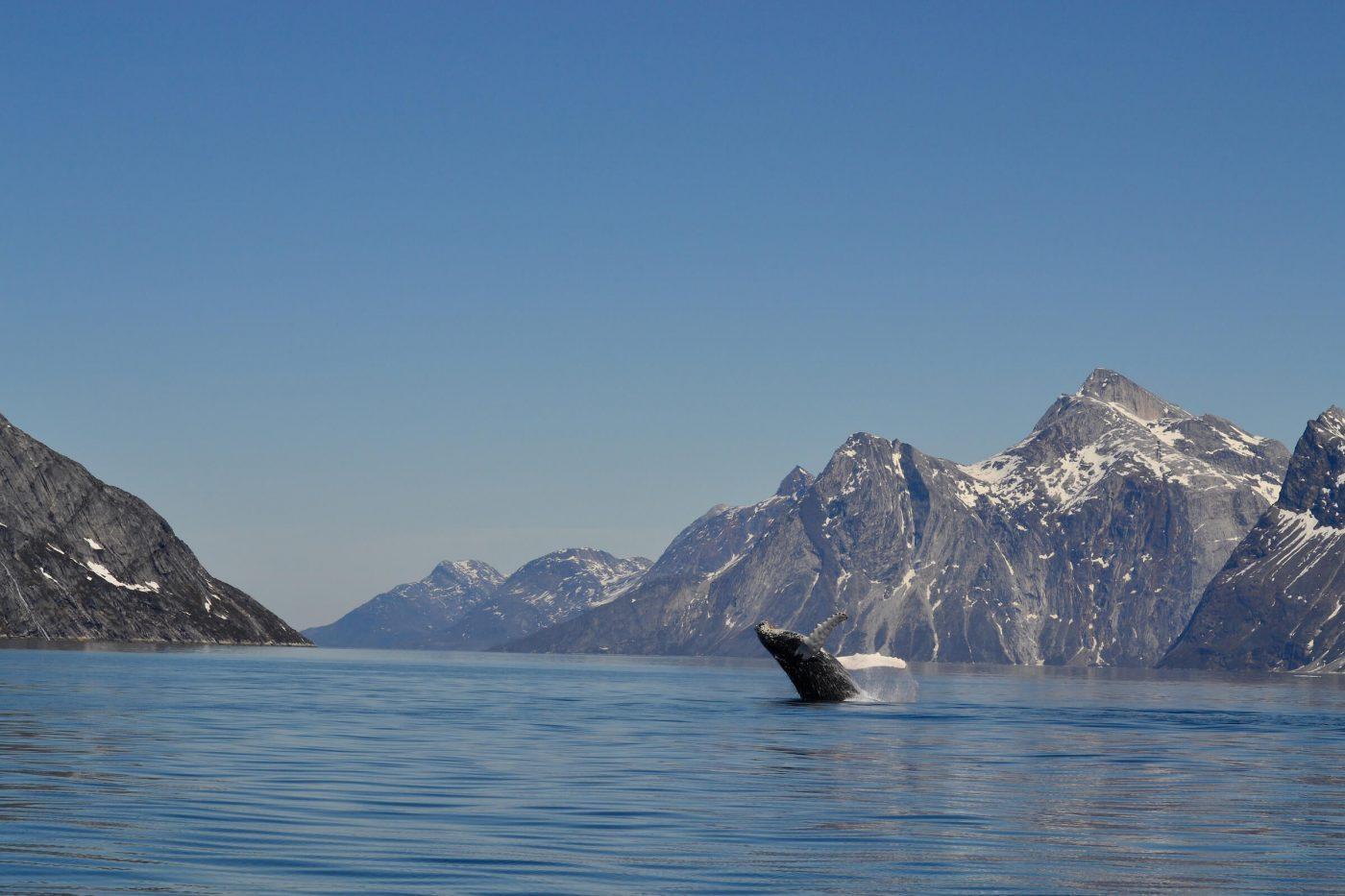 Humpback surface Nuuk. By Klaus Eugenius