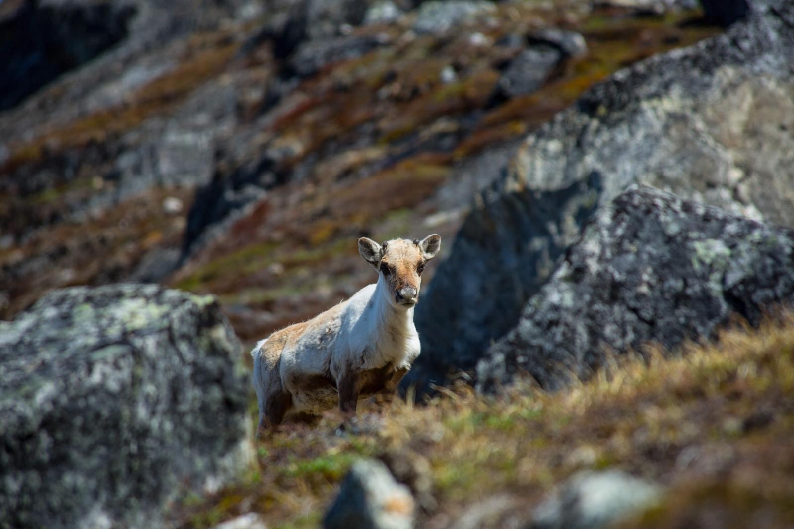 Summer reindeer in Greenland. Photo by Tikki Geisler