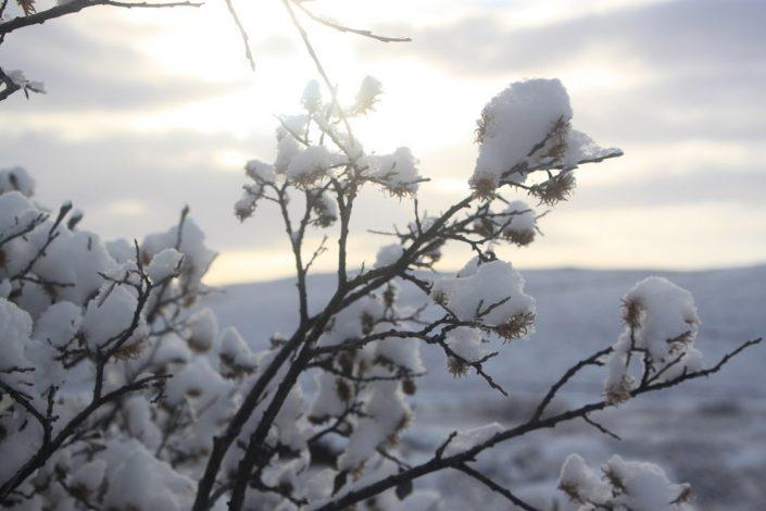 Snow covered twigs. By Visit Greenland