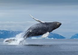 Whale spotted at Diskobugten, North Greenland. Photo by Paul Souders, Visit Greenland