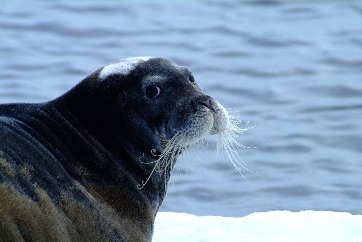 Harp Seal. Photo: Unattributed, Visit Greenland