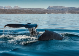 Two humpback whales diving outside Nuuk in Greenland. Photo by Camilla Hylleberg - Visit Greenland