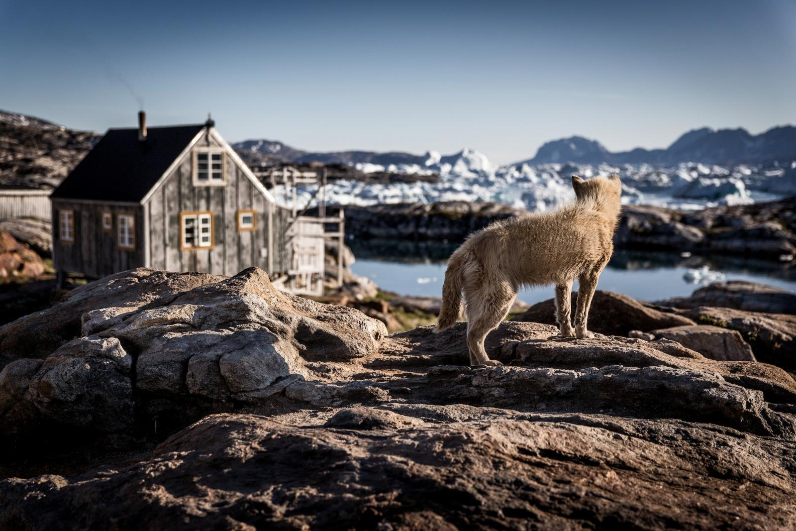 A sled dog in Tiniteqilaaq waiting for winter in East Greenland. Photo by Mads Pihl - Visit Greenland