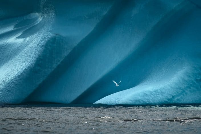 Greenland bird in front of iceberg. Photo by Maria Sahai.