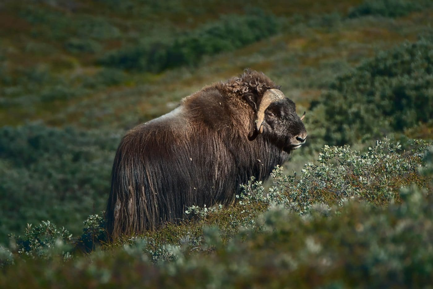 Kangerlussuaq wildlife - musk ox. Photo by Maria Sahai.