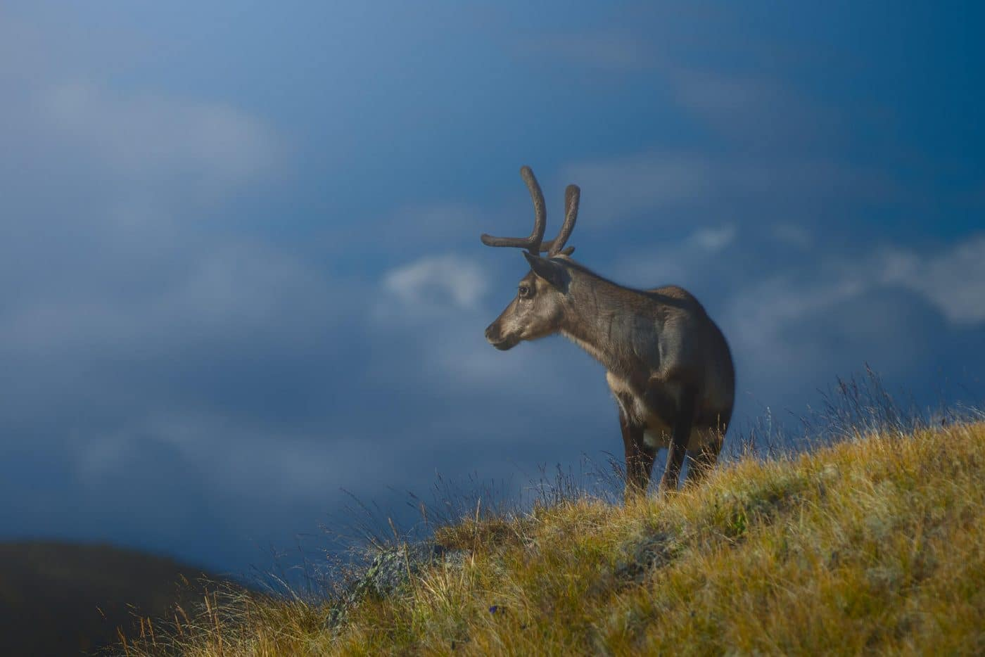 Greenland reindeer on hill. Photo by Karim Sahai