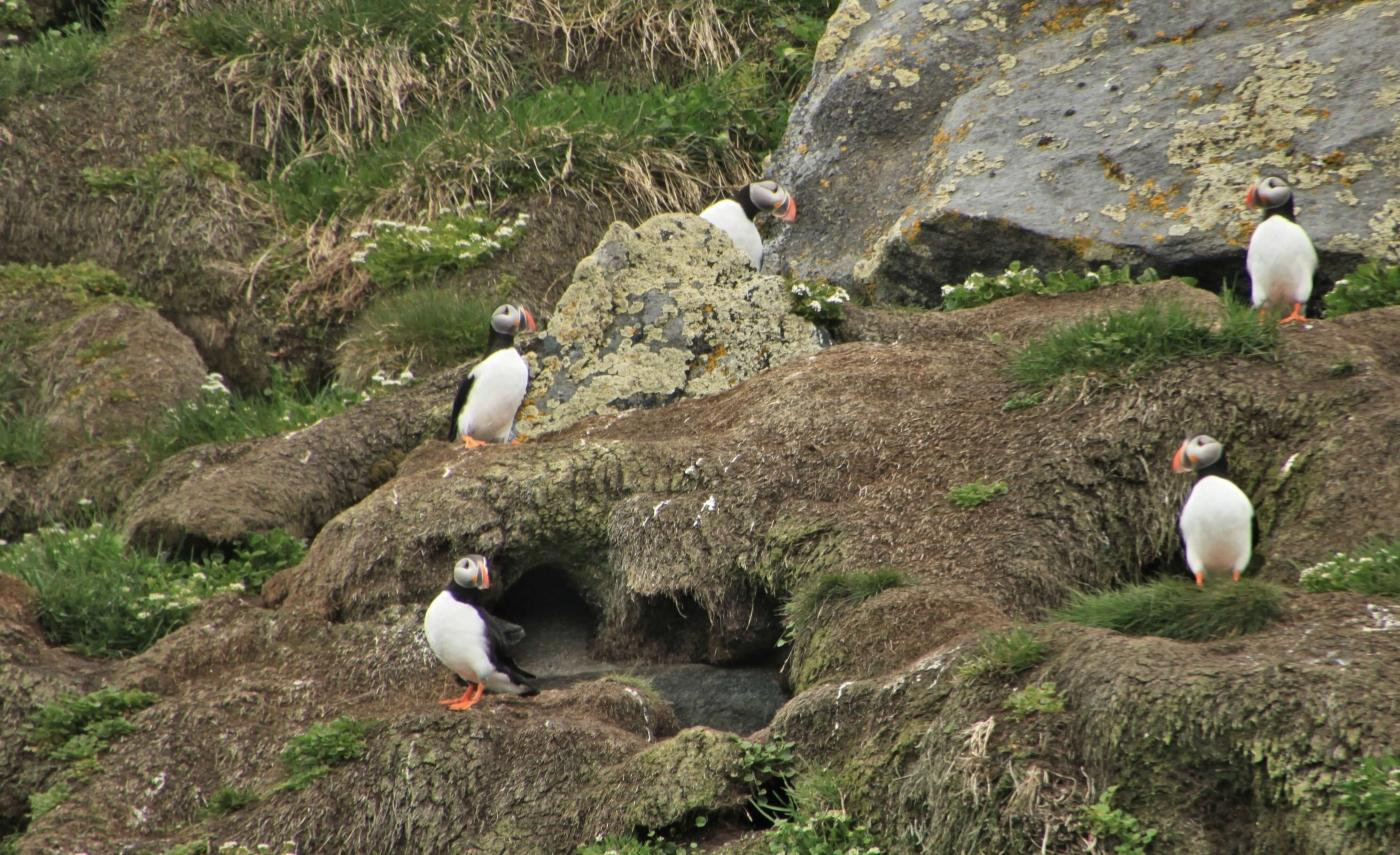Five puffins in Summer. Photo by Nuuk Adventure - Visit Greenland
