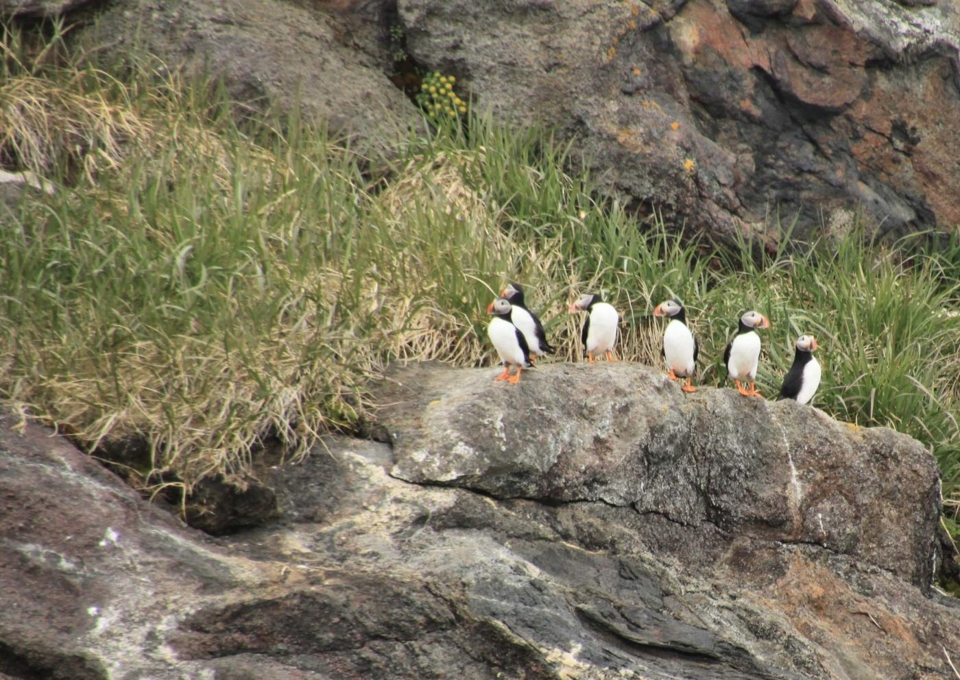 Six puffins on a row in Summer. Photo by Nuuk Adventure - Visit Greenland