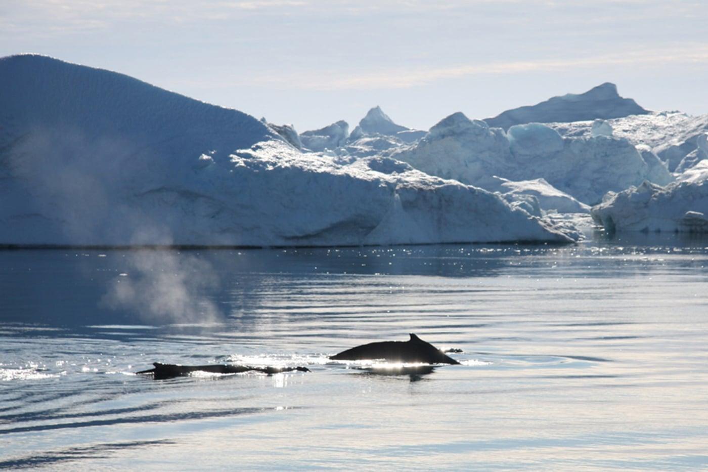 Grönlandsresor: Kajakfahren zwischen Walen und Eisbergen