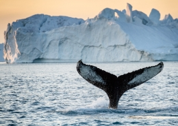 Tail fin of humpback in front of iceberg. Photo by Julie Skotte - Visit Greenland