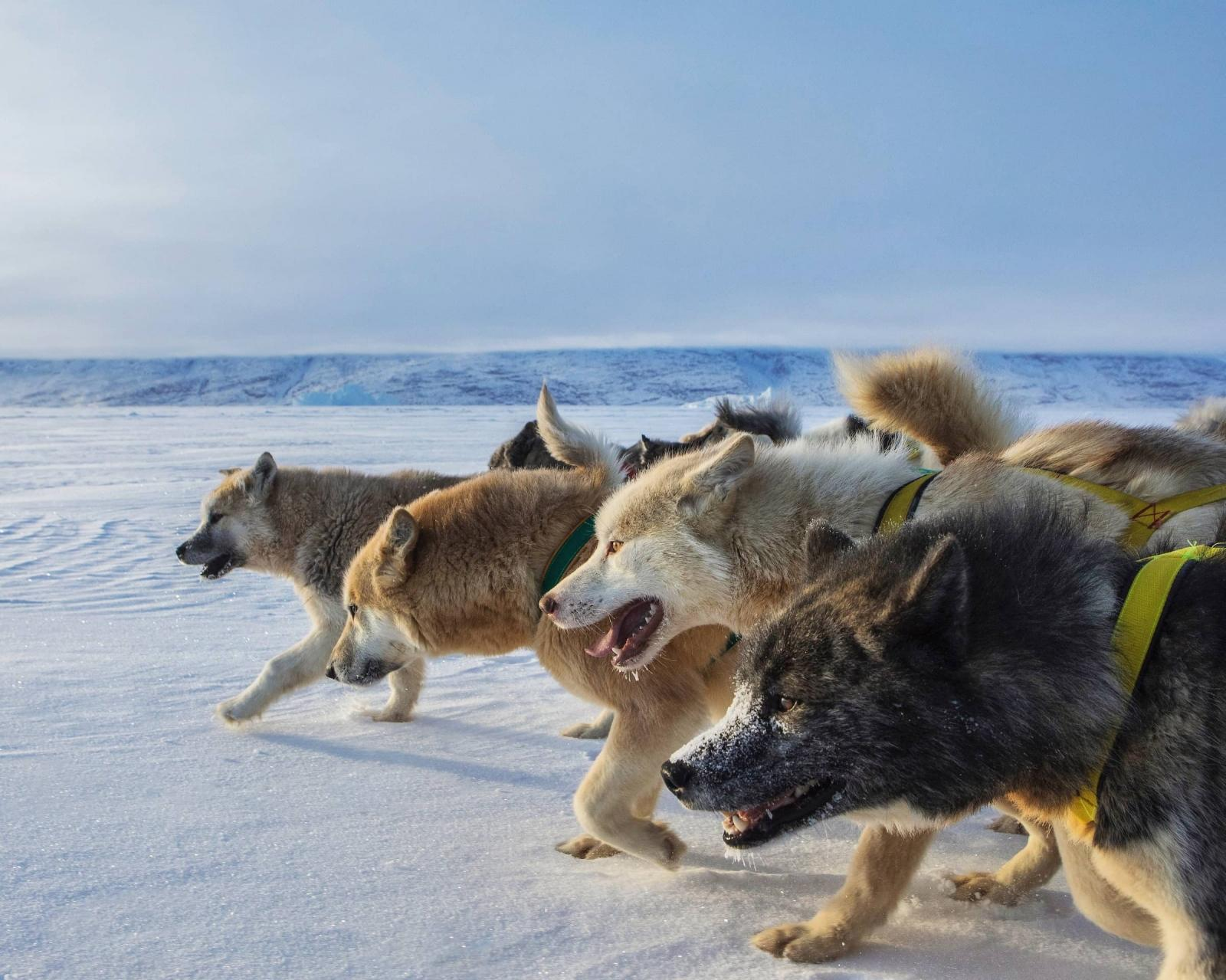The front of the sled dog pack seen from the side