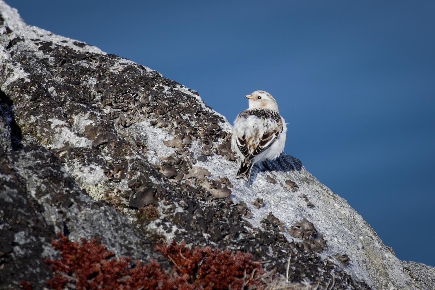 A snow bunting on a cliff in Greenland. Photo by Aqqa Rosing Asvid, Visit Greenland