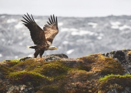 Eagle. Photo by Peter Lindstrom - Visit Greenland