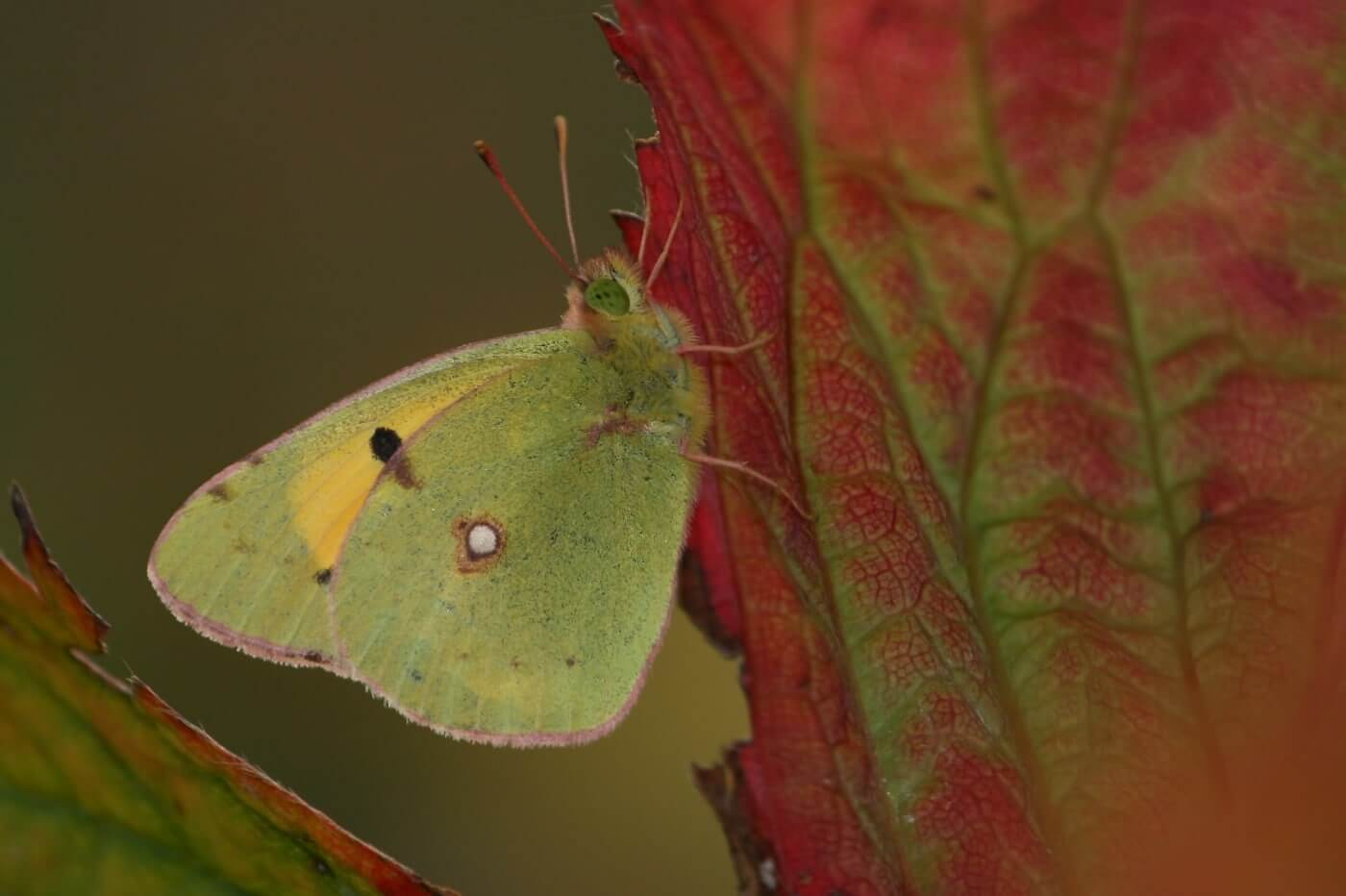 Northern Clouded Yellow. Photo by Dean Morley