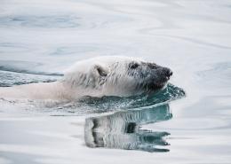 polar bear in greenland. photo by annie spratt, Visit Greenland