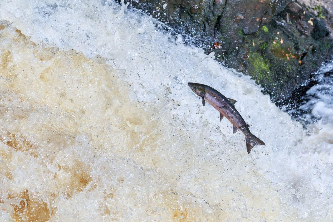 Salmon migrating to spawing grounds. Photo by Chanonry