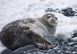 seal on a rocky beach. photo by yuriy rzhemovskiy, Visit Greenland
