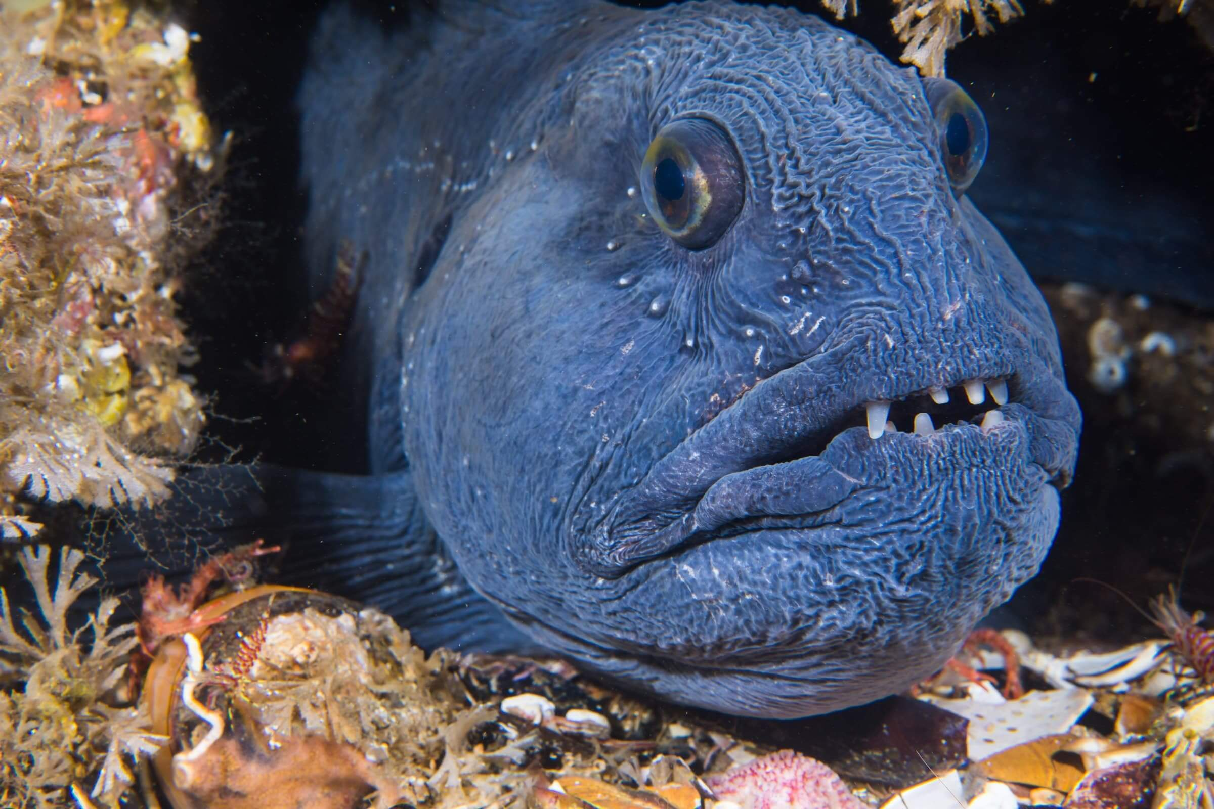 wolffish atlantic spotted and northern. photo by Joern K, Visit Greenland