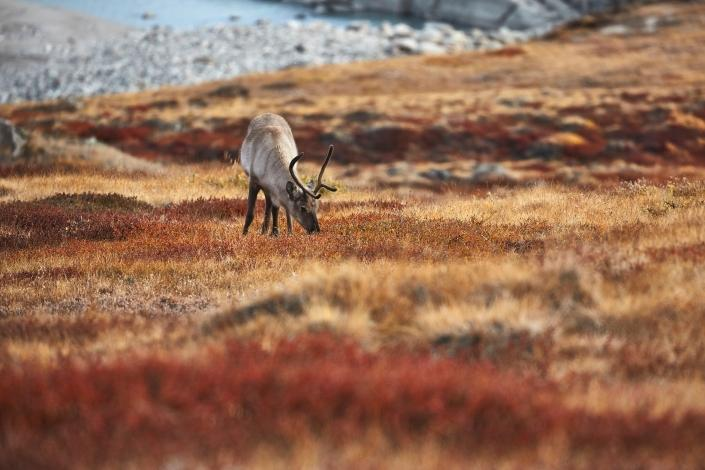 Reindeer. Photo by Peter Lindstrom - Visit Greenland
