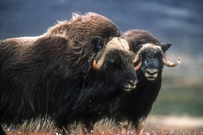 A pair of musk oxen in summer. Photo by Magnus Elander