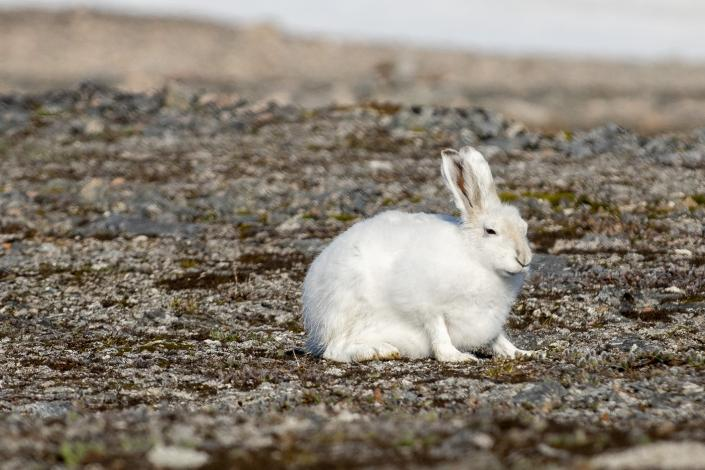 Arctic hare in Ittoqqortoormiit. Photo by Bo Normander.