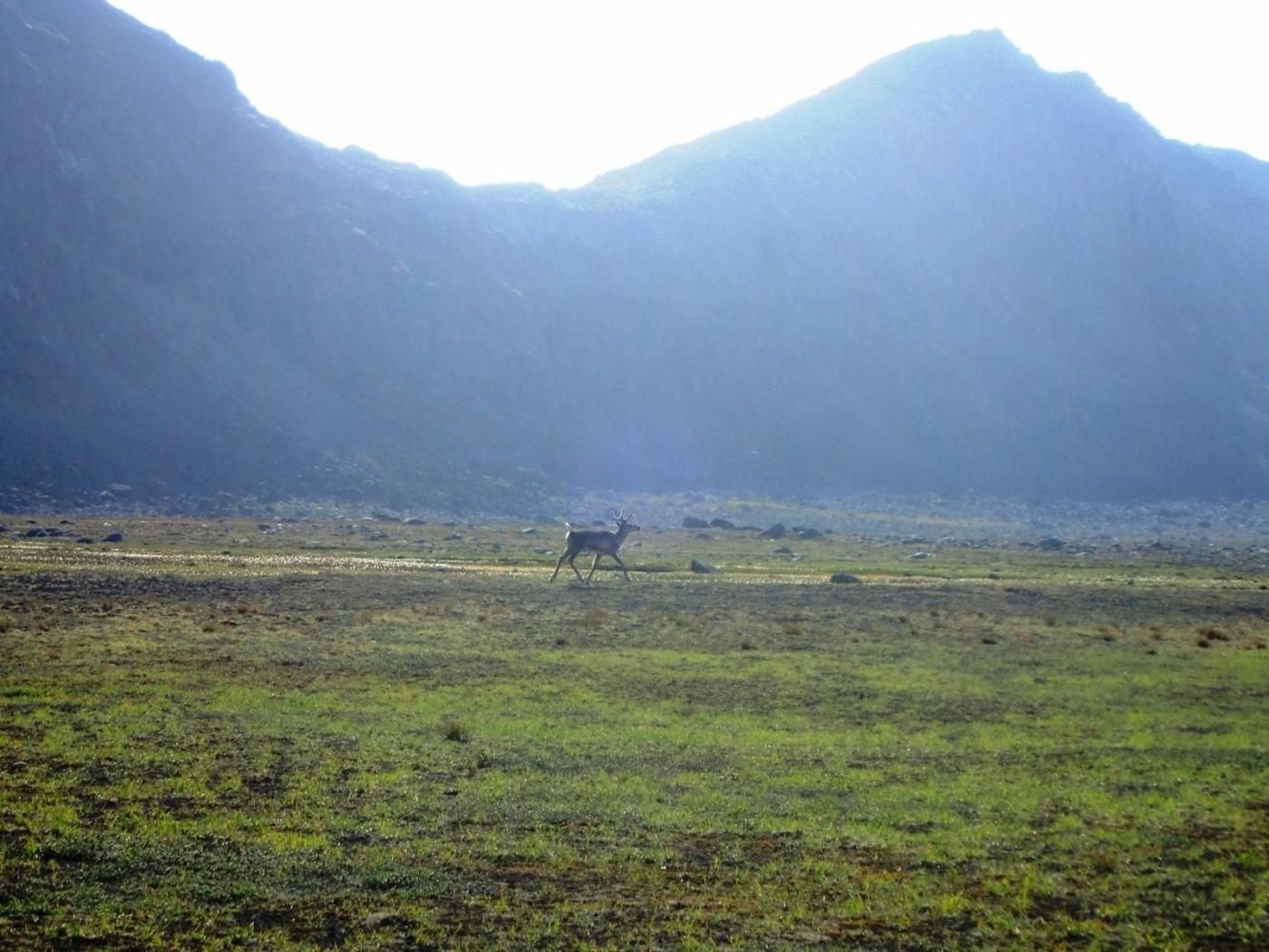 Sassannguit Native, the Inquisitive Reindeer. Photo by Allan Liddle.