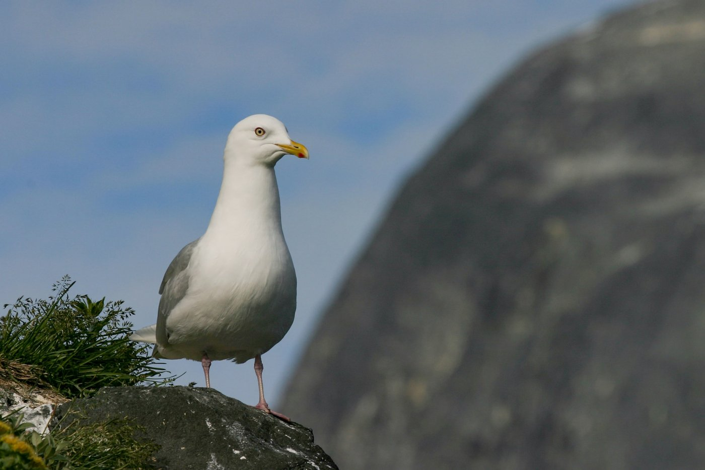 Iceland Gull -EN, Naajaannaq -KAL, Hvidvinget Måge -DA, Larus glaucoides -LAT. Photo by Carsten Egevang - Visit Greenland
