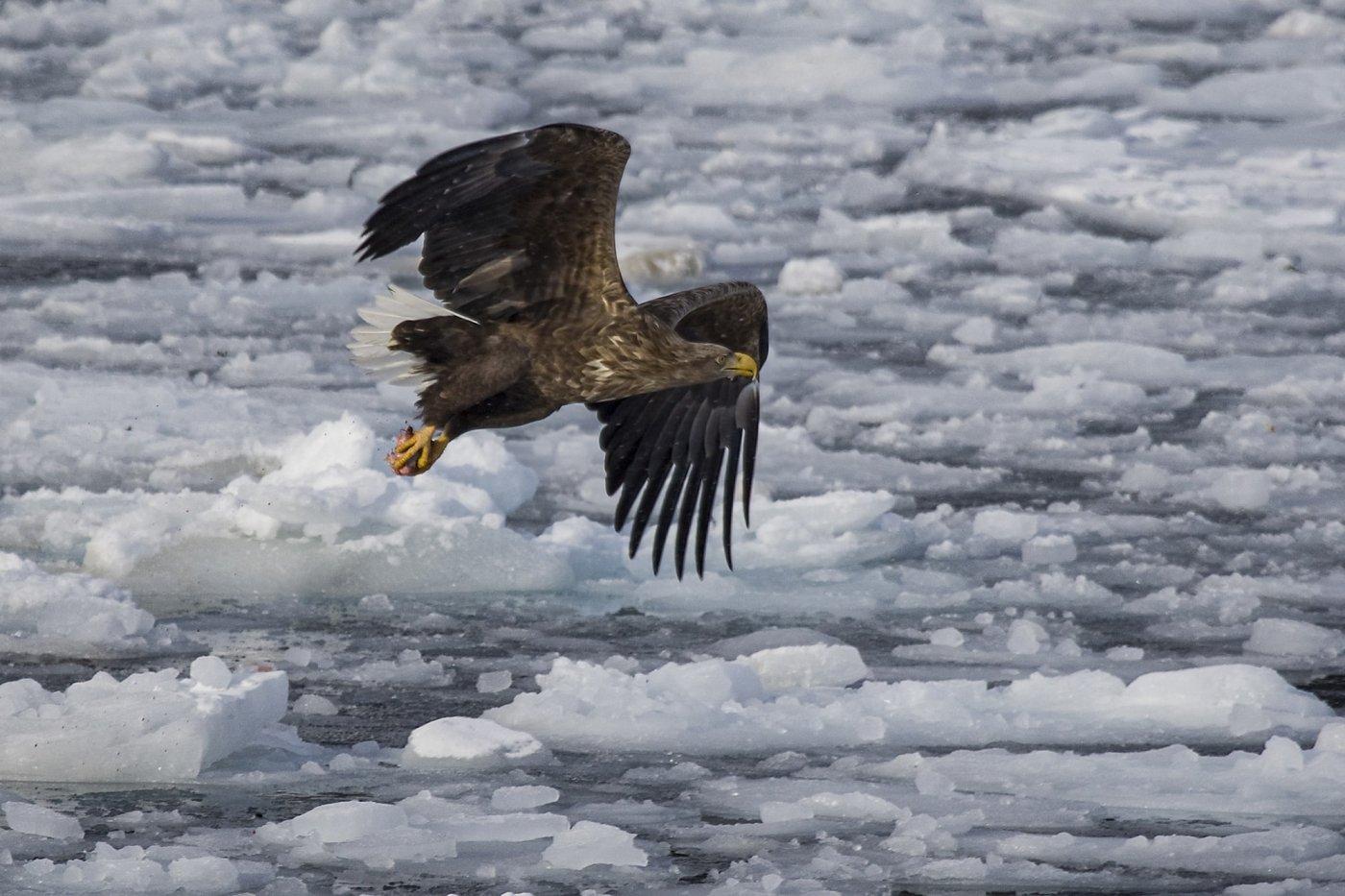White-tailed Eagle -EN, Nattoralik -KAL, Havørn -DA, Haliaeetus albicilla -LAT. Photo by Carsten Egevang - Visit Greenland