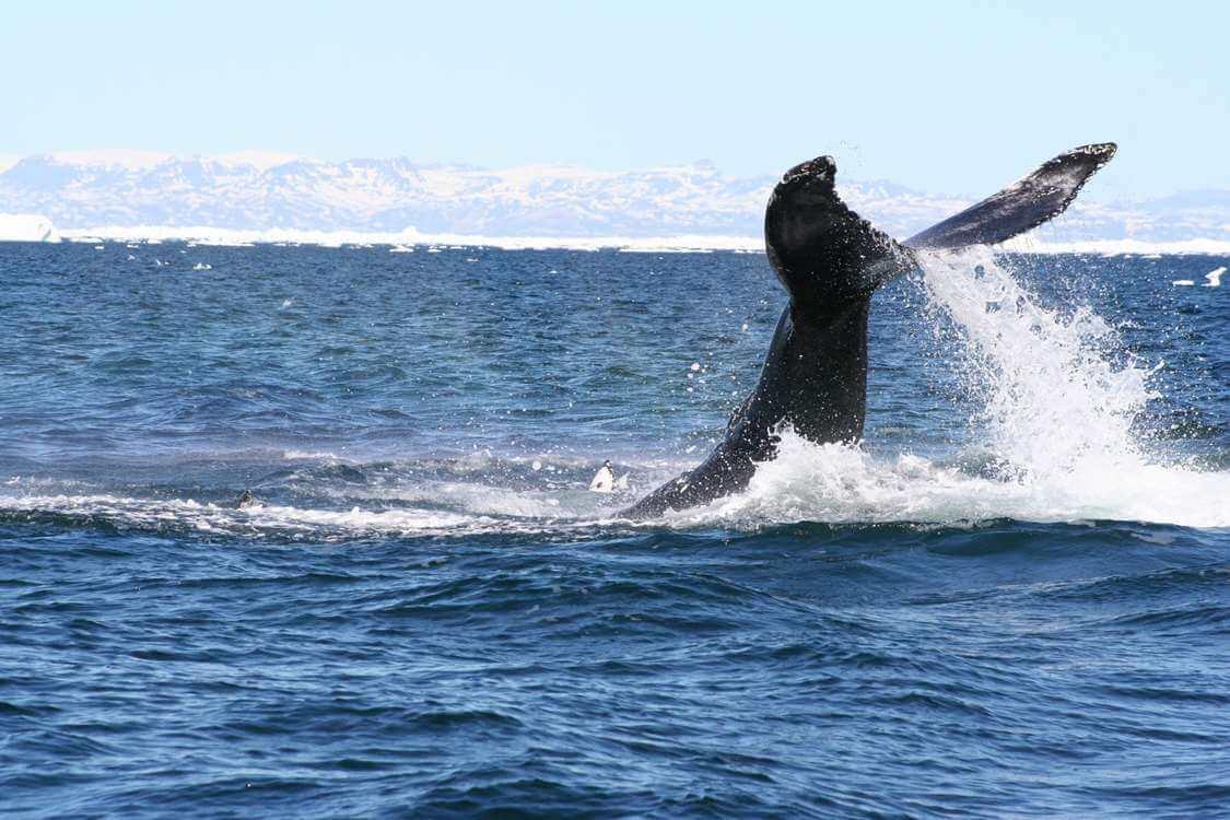 WOG Whale Watching near Uuummannaq. Visit Greenland