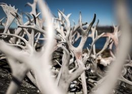 A collection of reindeer antlers outside a house in Qeqertarsuatsiaat south of Nuuk in Greenland. By Mads Pihl