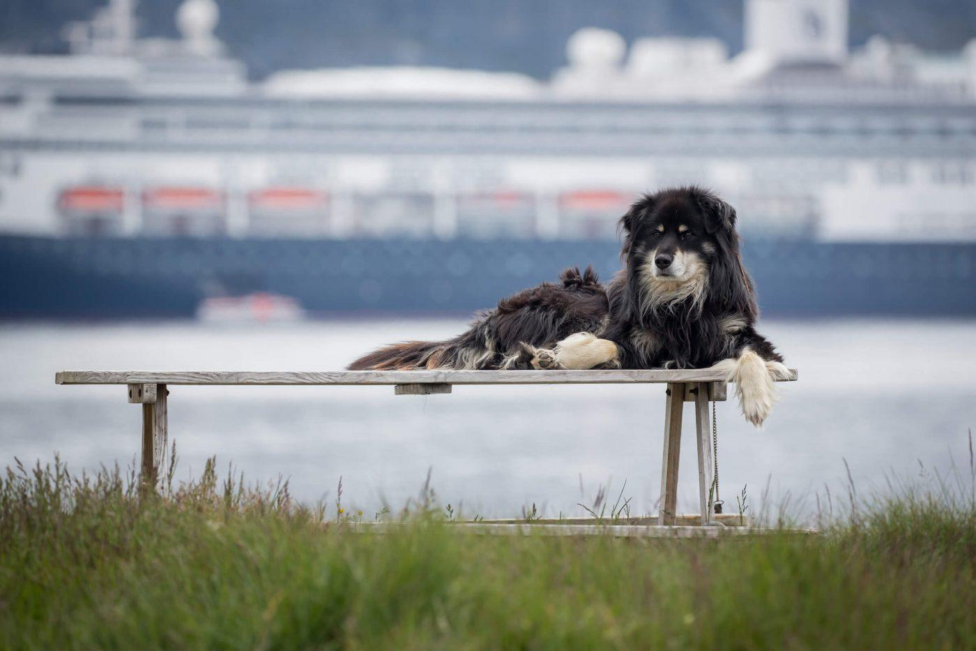 A dog on a park bench with the cruise ship Rotterdam in the background in Nanortalik in South Greenland. Photo by Mads Pihl