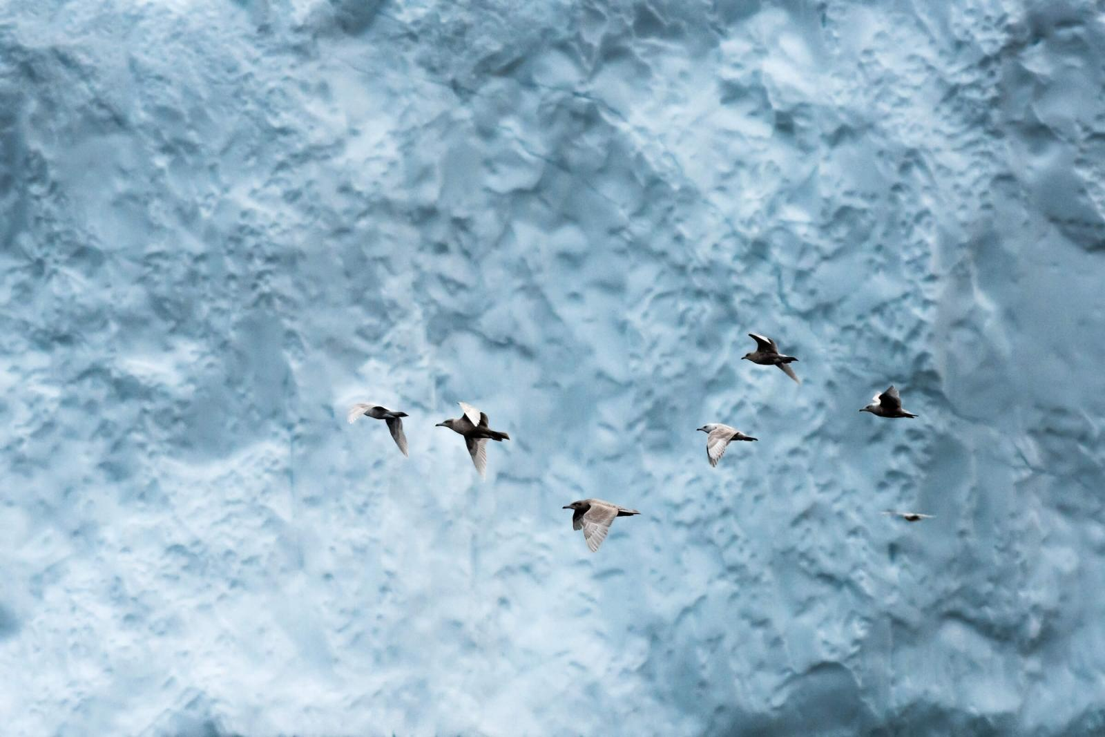 A flock of fulmar's took of as an iceberg close to them collapsed. I was amazed by the amount and variety of wildlife the Disko Bay has to offer. By Stian Klo