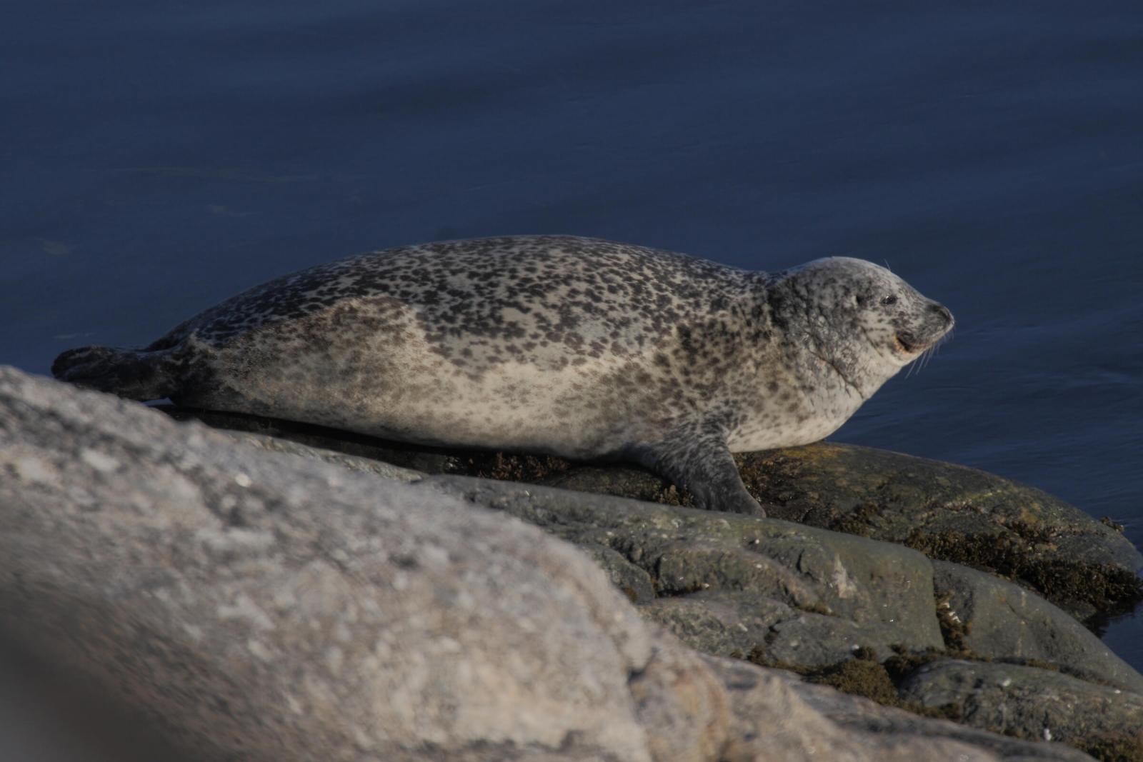 A harbor seal in Greenland, by Aqqa Rosing-Asvid