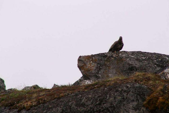 Eagle standing on a rock in Kapisillit. Photo by Asimut Tours and CampHytten Amaroq from outside. Photo by Asimut Tours and Camp