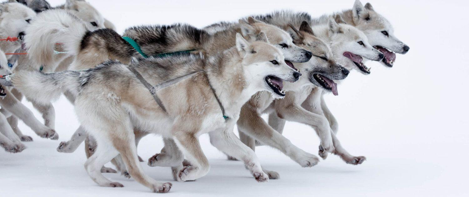 Sled dogs speeding over sea ice near Oqaatsut and Ilulissat in North Greenland