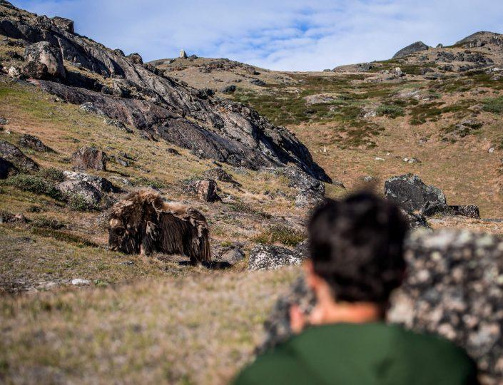 Hiker spots wild muskox and other wildlife while hiking near the Greenland Outdoors Camp Muskox Lake in the Arctic Circle backcountry near Kangerlussuaq. By Raven Eye Photography