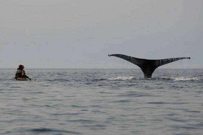 A whale's fin surfacing near Aasiaat. Photo by Hotel Aasiaat Seamen's Home